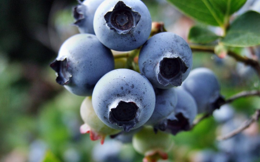 MYCORRHIZA IN BLUEBERRIES – WHY IS IT NEEDED?