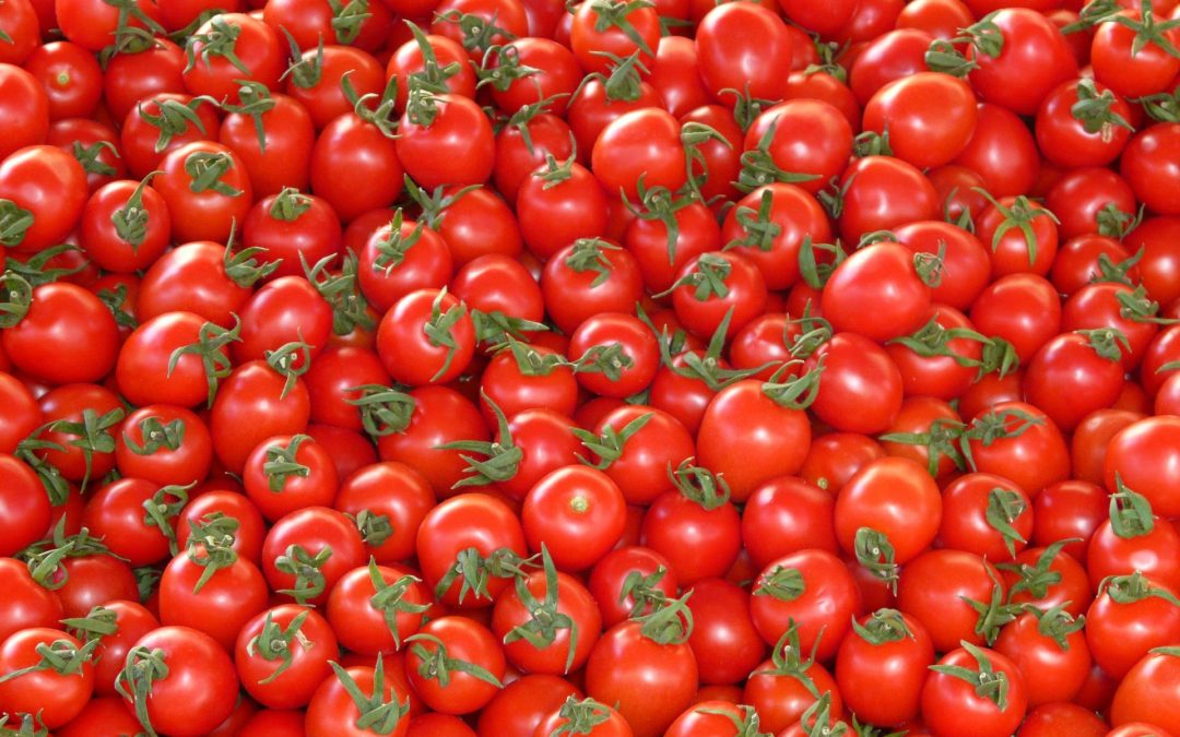 Dodatkowe rewelacje w plonowaniu pomidorów szklarniowych po mikoryzacji!