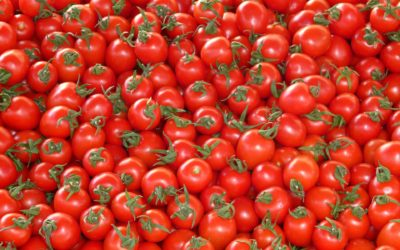 Further revelations in yielding of greenhouse tomatoes after mycorrhization!