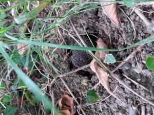 Trufla w glebie