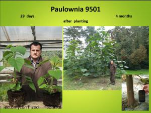 paulownia-croatia